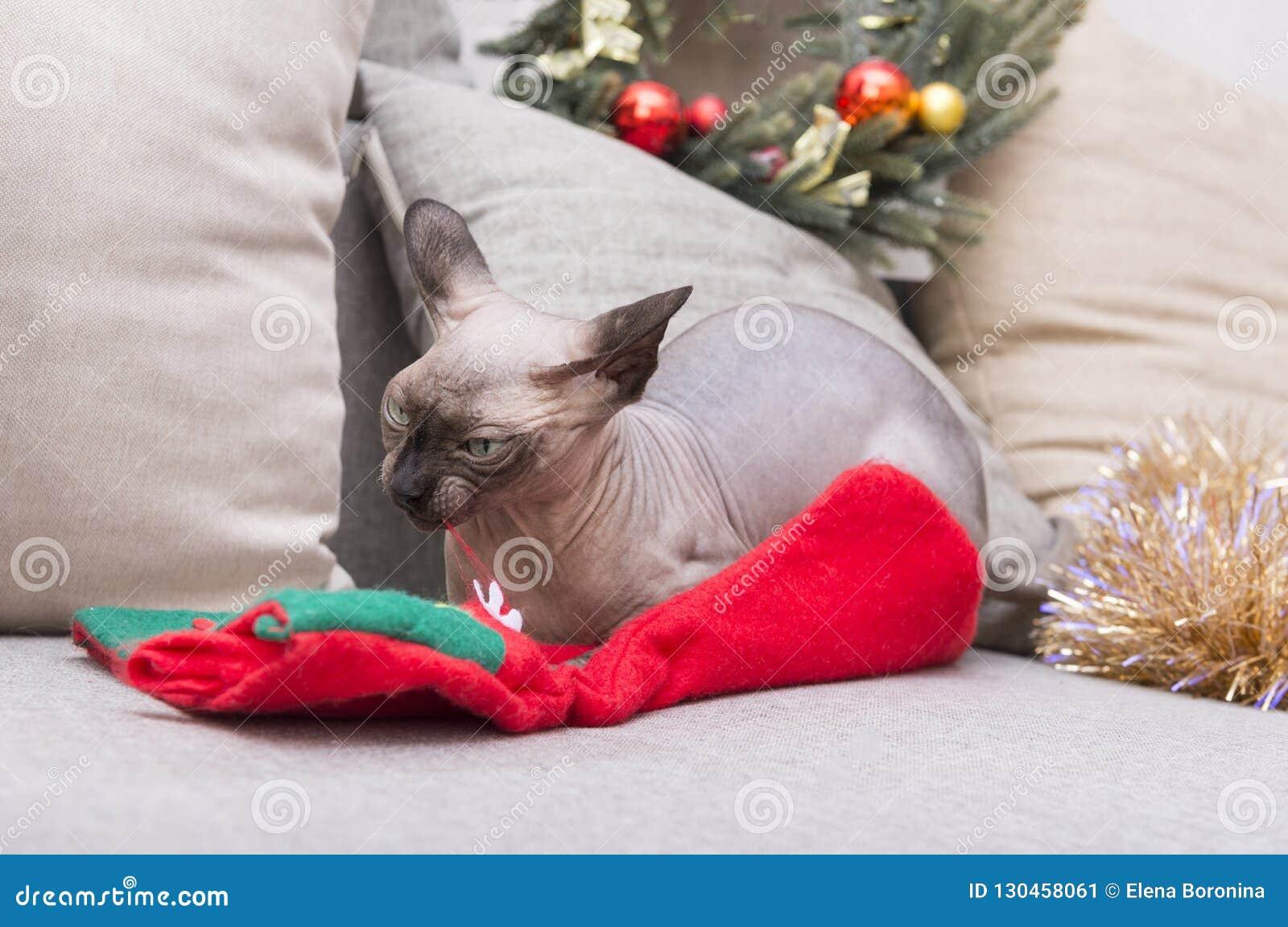 Kahle Katze, die auf der Couch und dem Nagen eine Weihnachtssocke unter t liegt