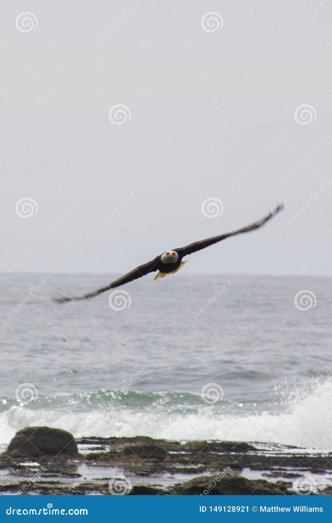 Kahler Eagle Soars Over Crashing Waves