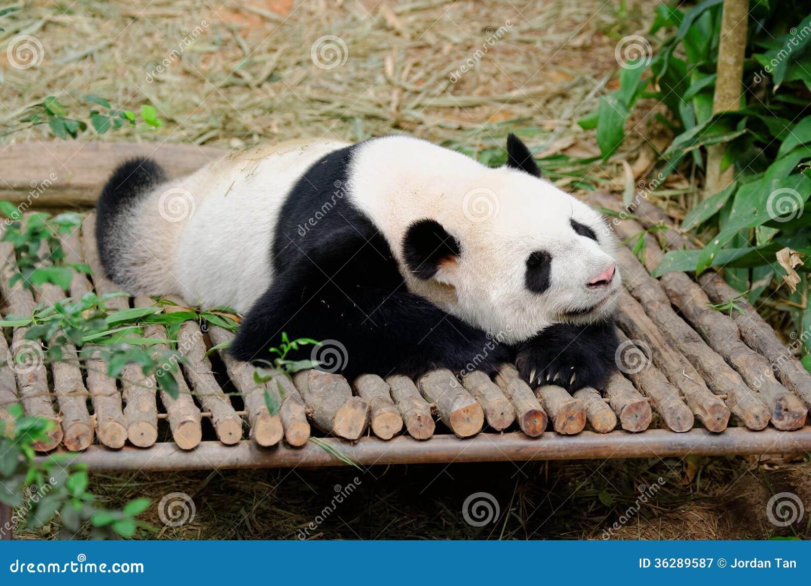 Kai Kai the male panda resting