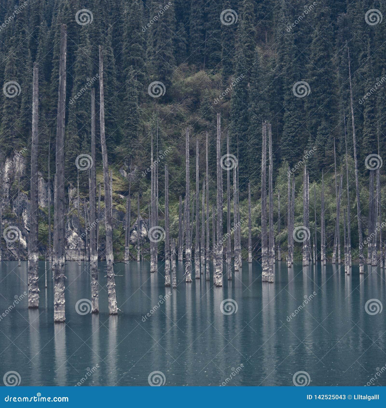 Λίμνη Kaindy Νεκρά δέντρα πέρα από τη λίμνη Ενάντια στο σκηνικό των δέντρων έλατου