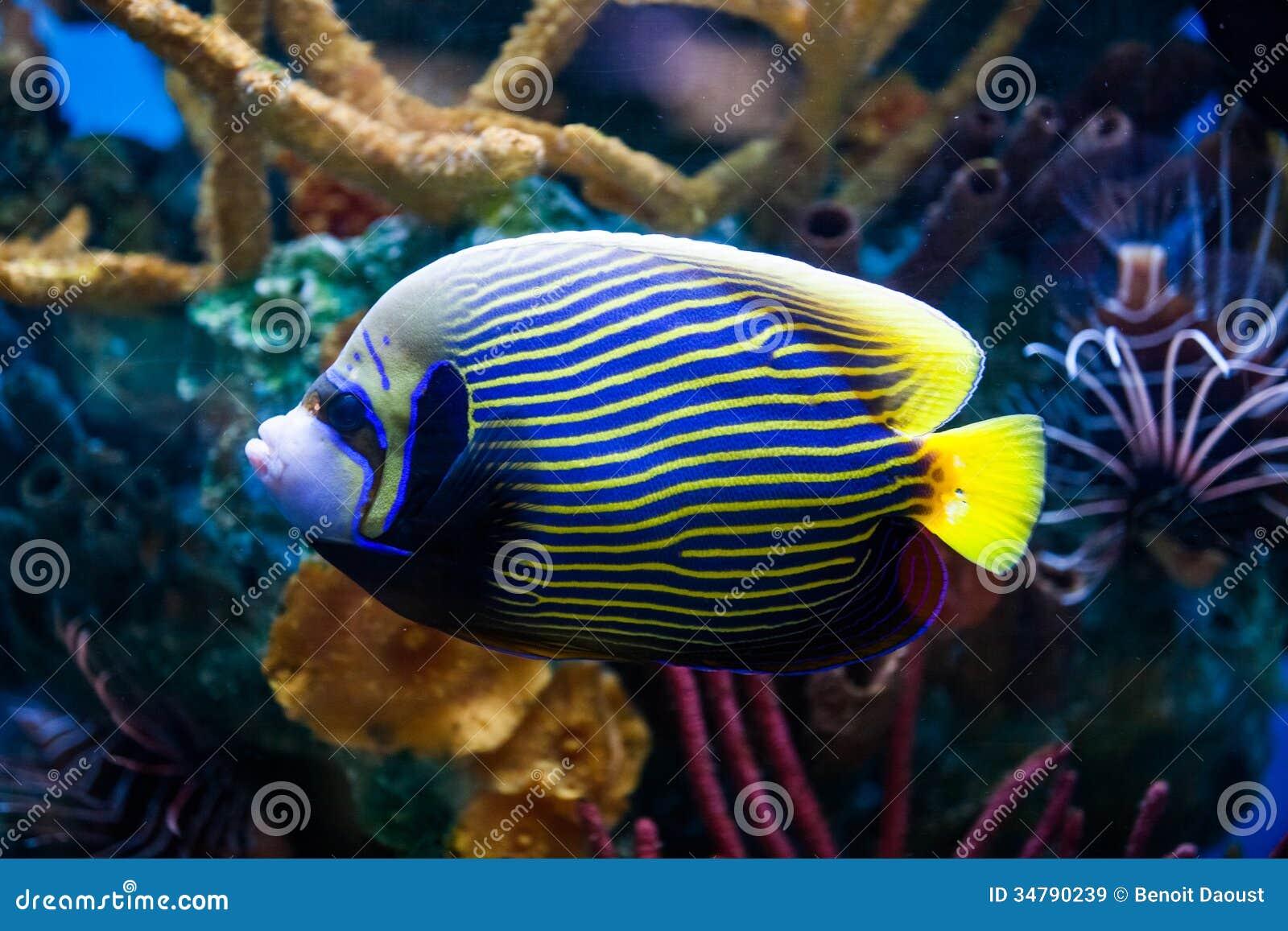 Kaiser anglefish nahaufnahme im salzwasser aquarium for Salzwasser aquarium fische