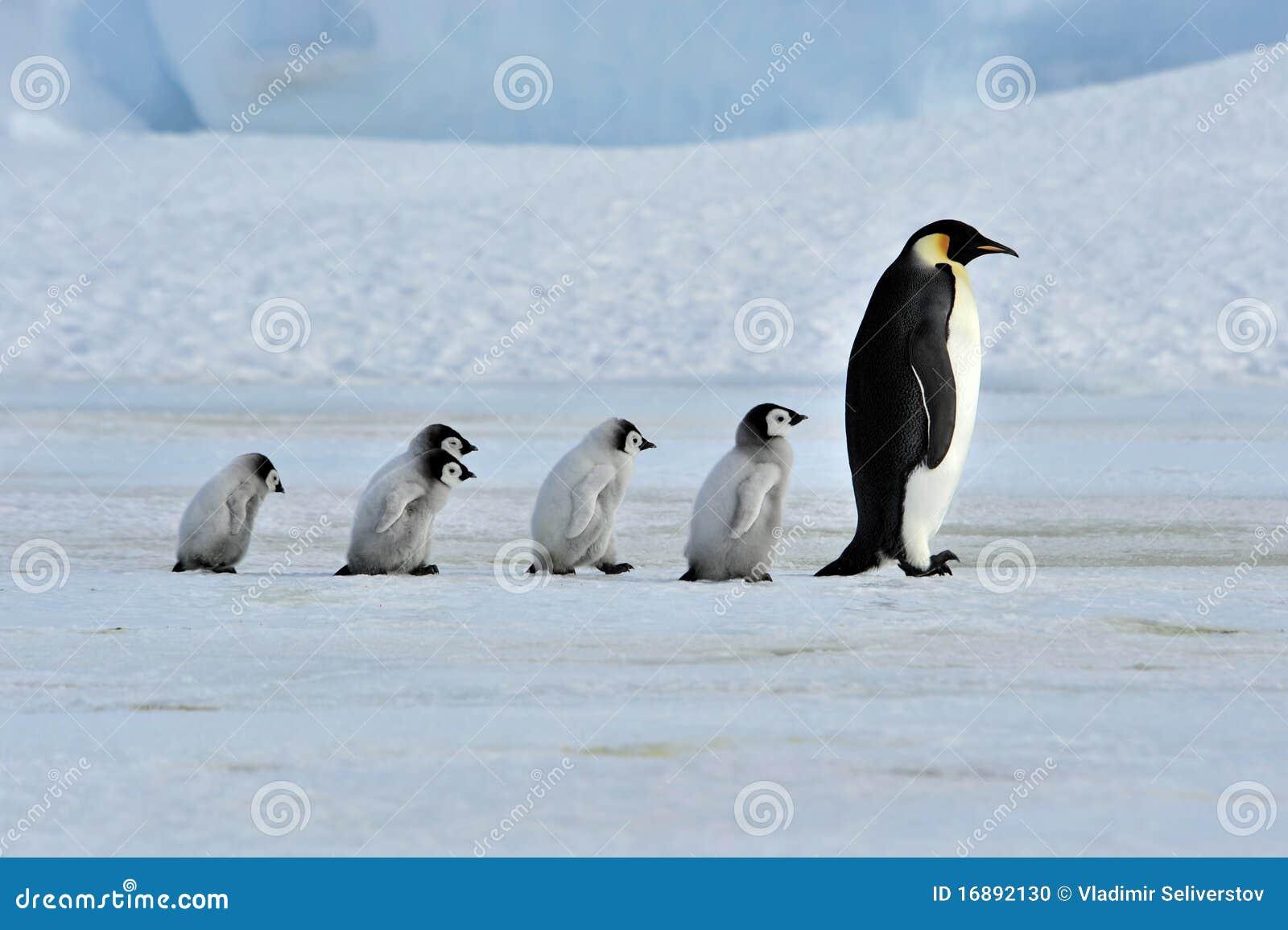 Kaiser-Pinguin