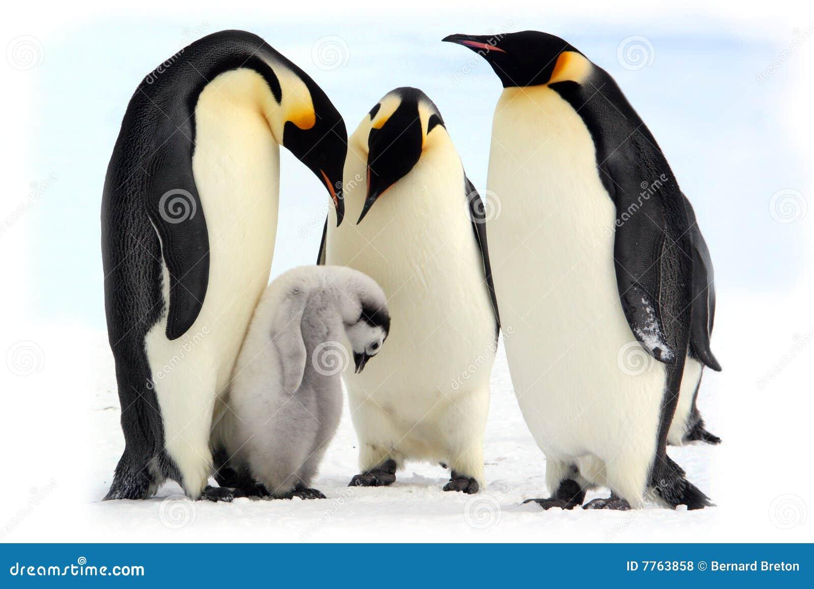 Kaiser-Pinguine (antarktisch)