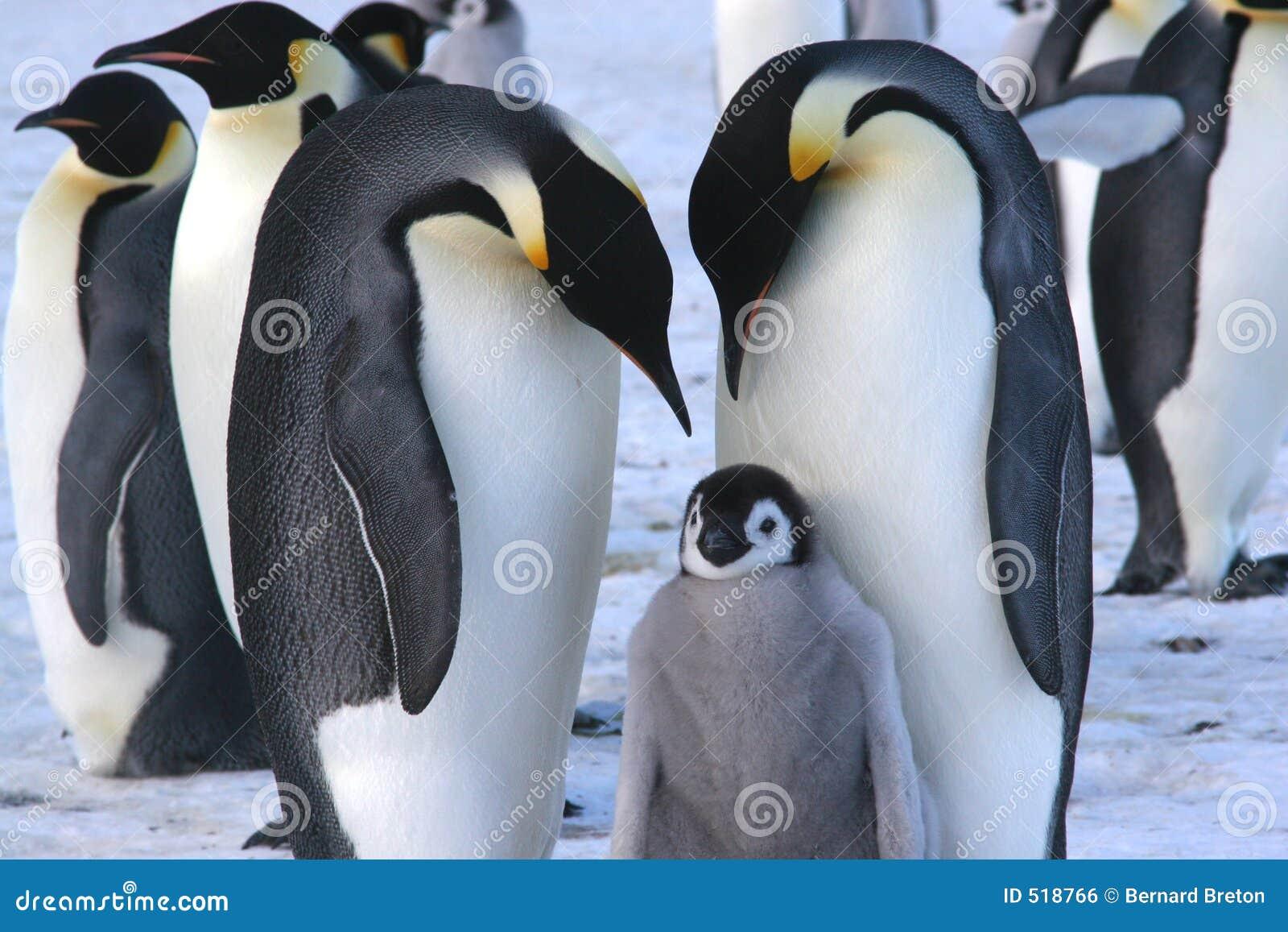 Kaiser-Pinguine mit Küken