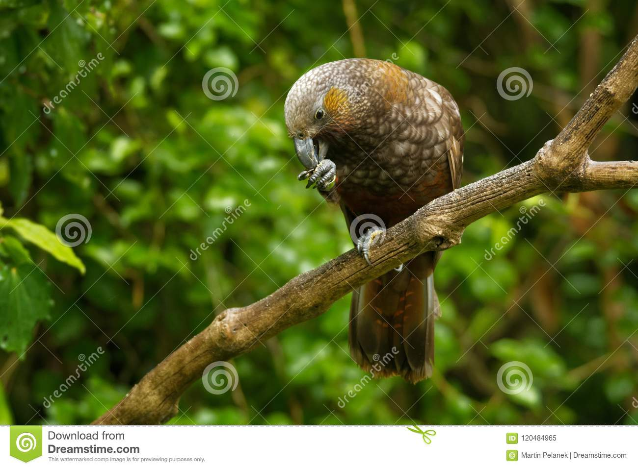 Kaka - Nestor meridionalis - endemic parakeet living in forests of New Zealan