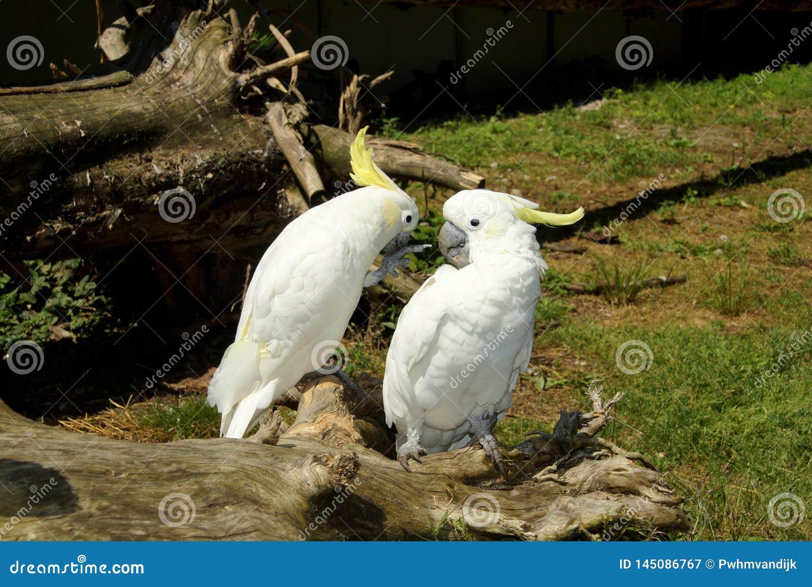 Kakadus auf einem Baumstamm