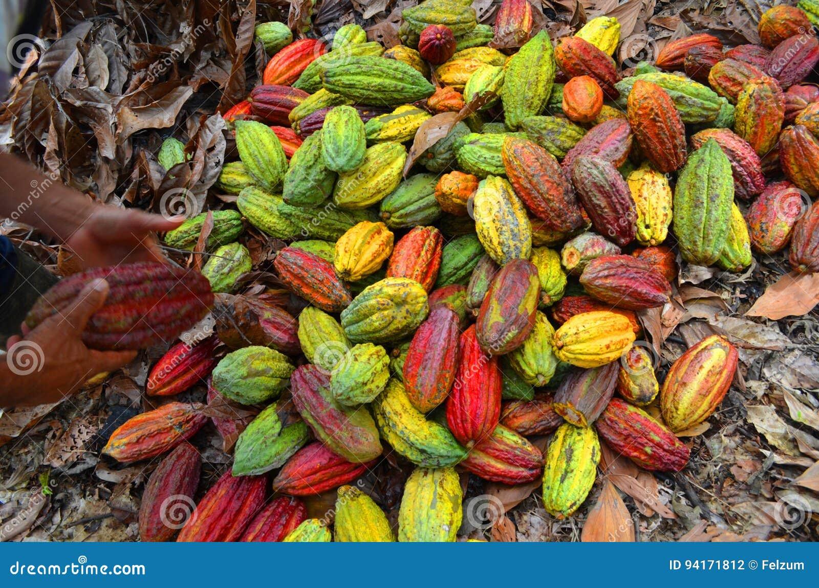 Kakaolantgård