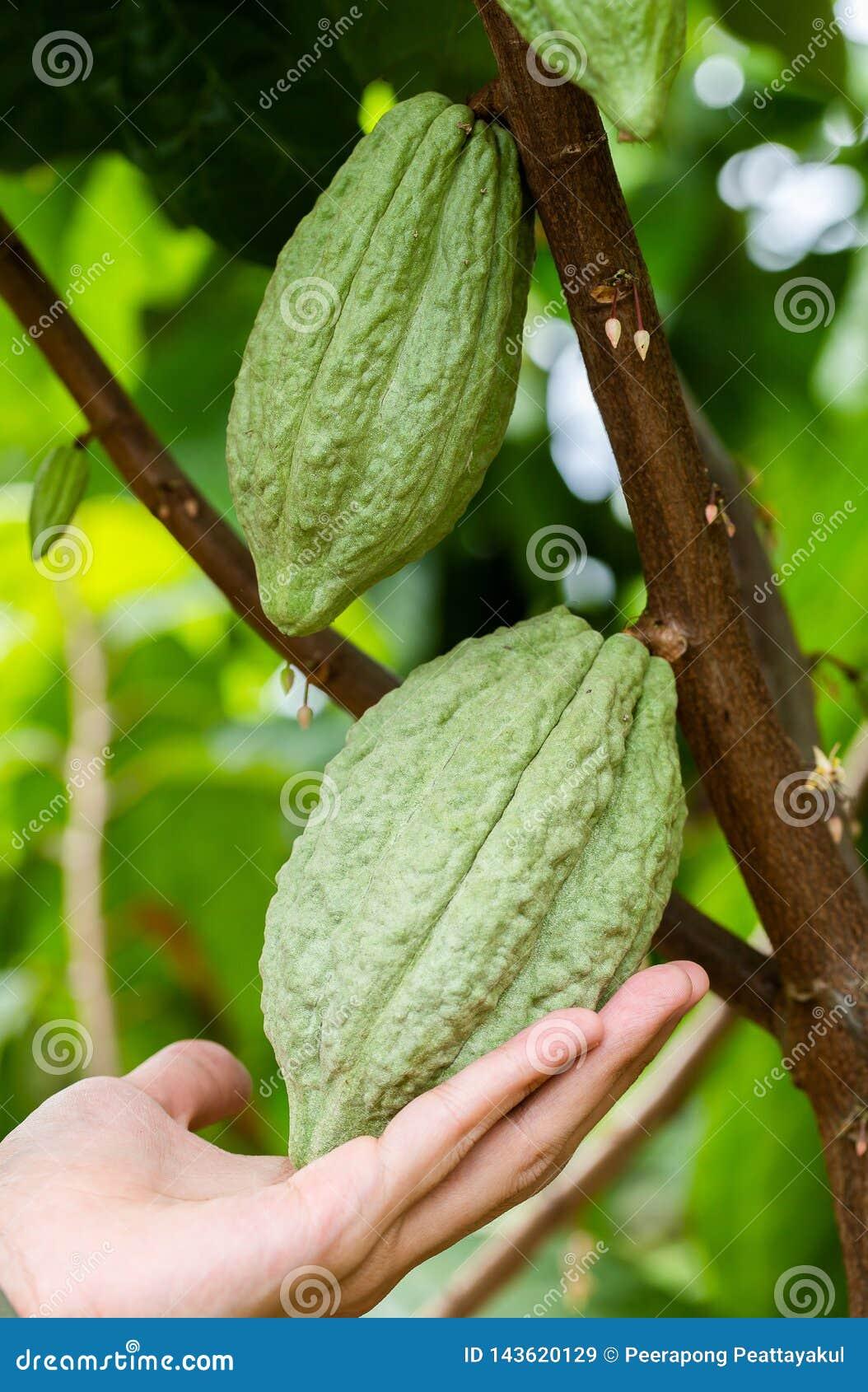 Kakaoträd (Theobromakakao) Organiska kakaofruktfröskidor i natur