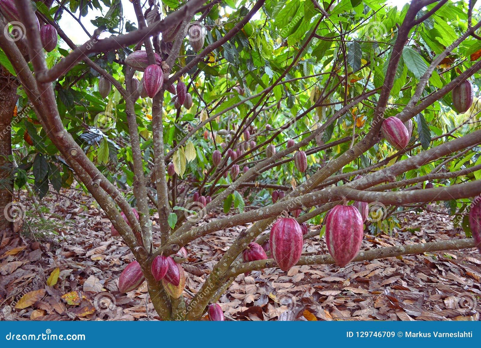Kakaowe owoc wiesza od drzewa