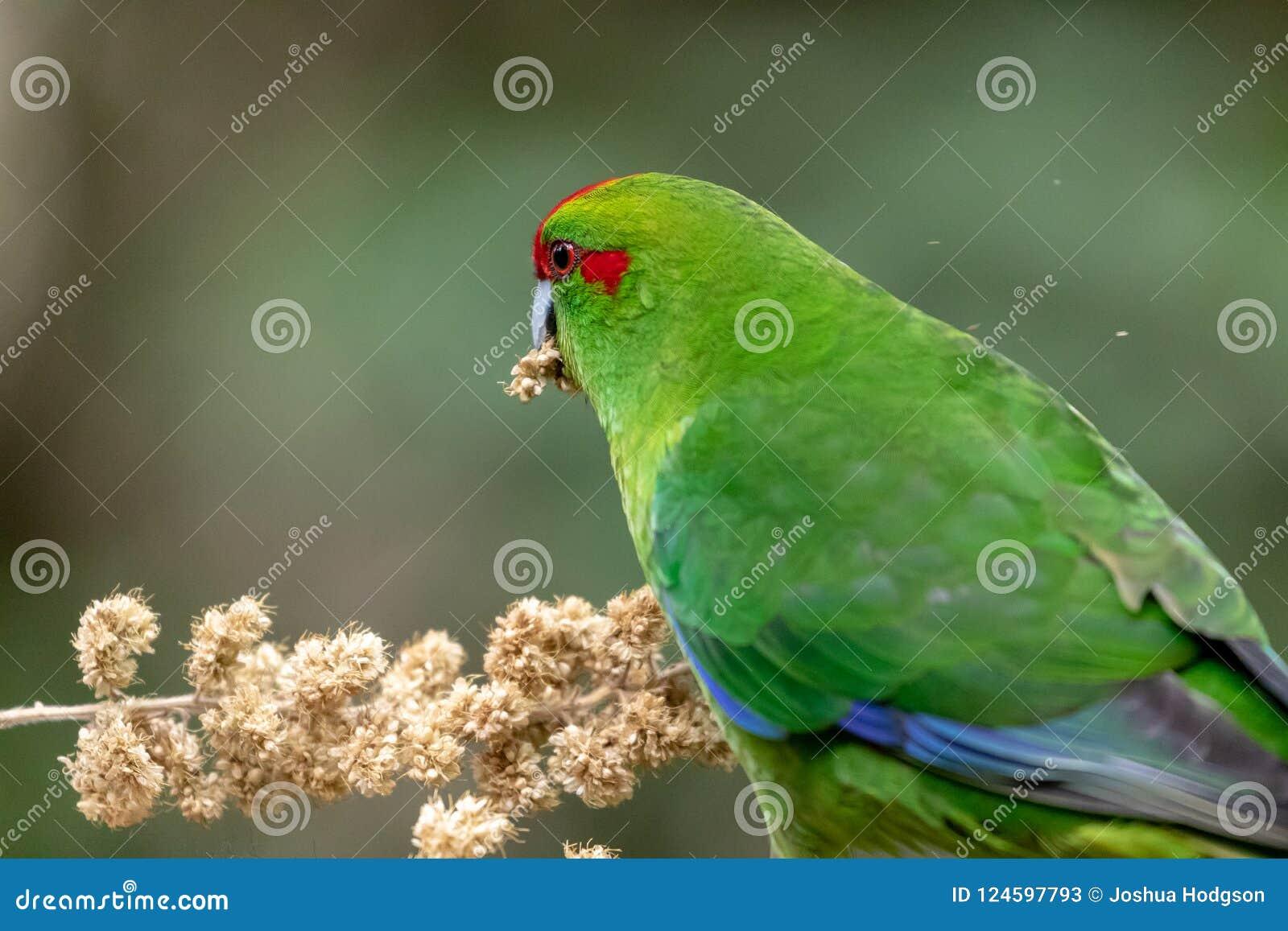 Kakariki, длиннохвостый попугай Новой Зеландии увенчанный красным цветом зеленый