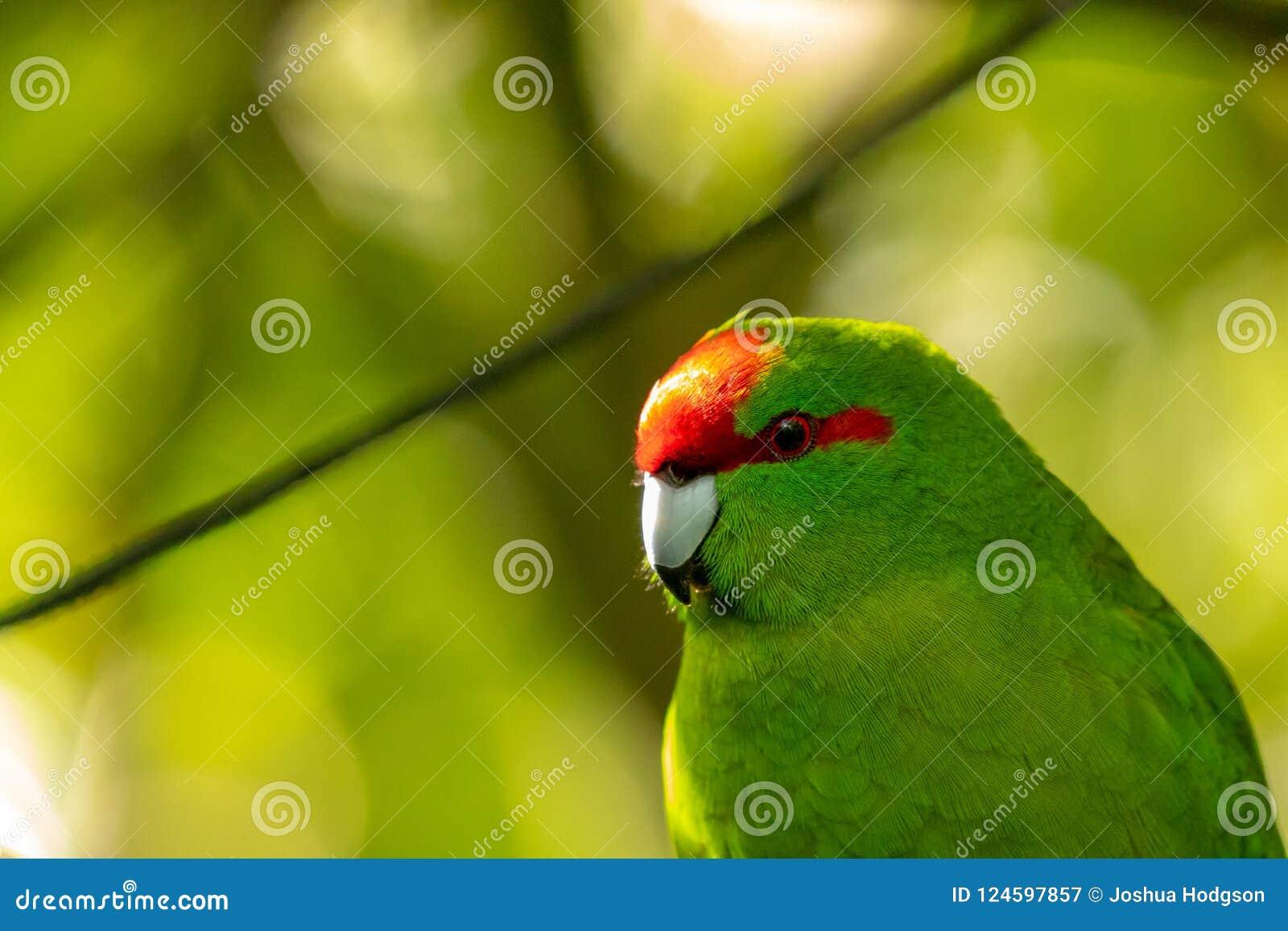 Kakariki, длиннохвостый попугай Новой Зеландии увенчанный красным цветом зеленый, предпосылка леса