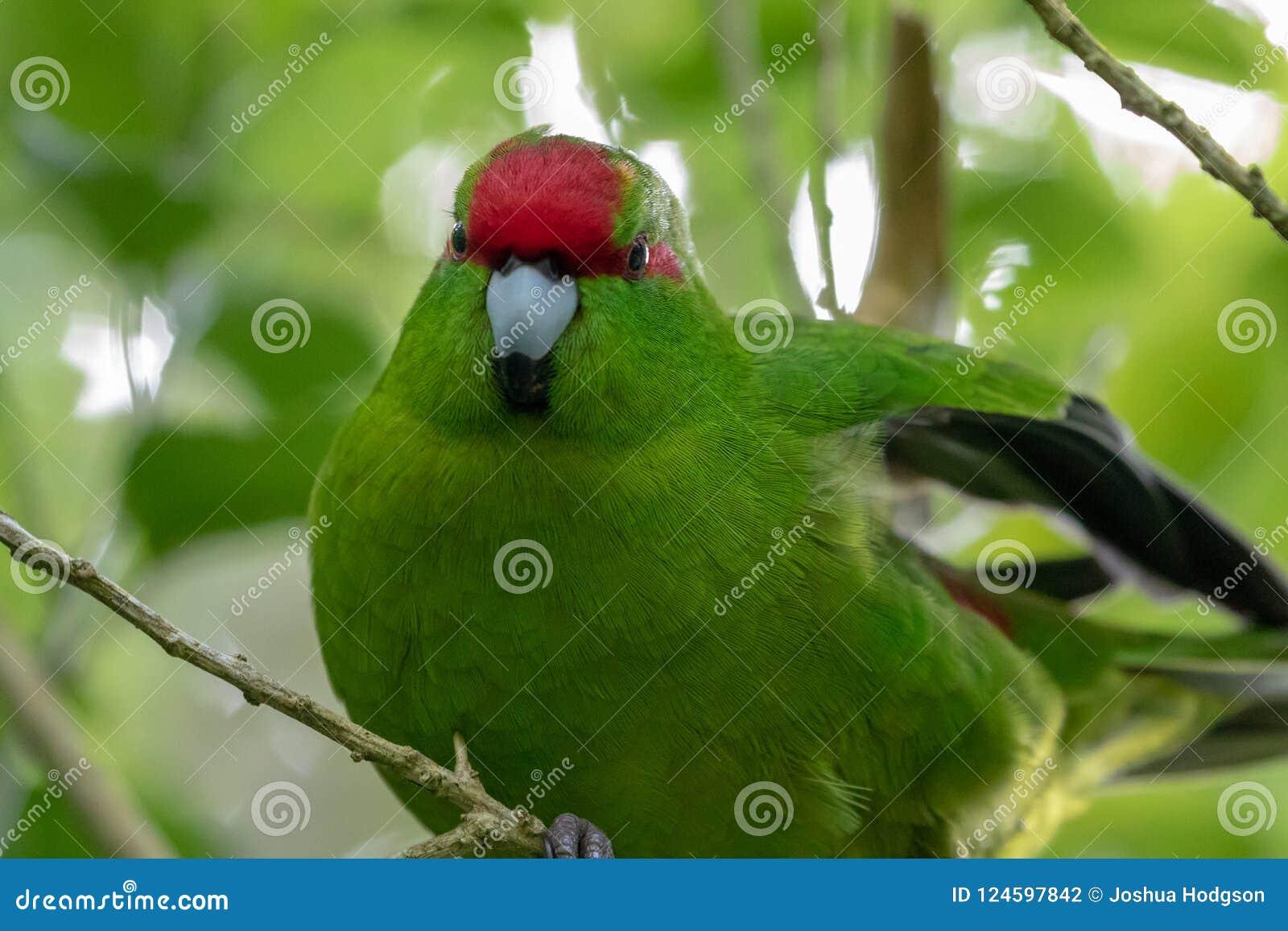 Kakariki, periquito verde coronado rojo de Nueva Zelanda