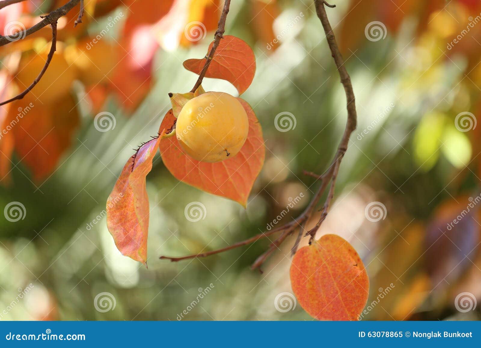 Download Kakis sur l'arbre image stock. Image du orange, organique - 63078865