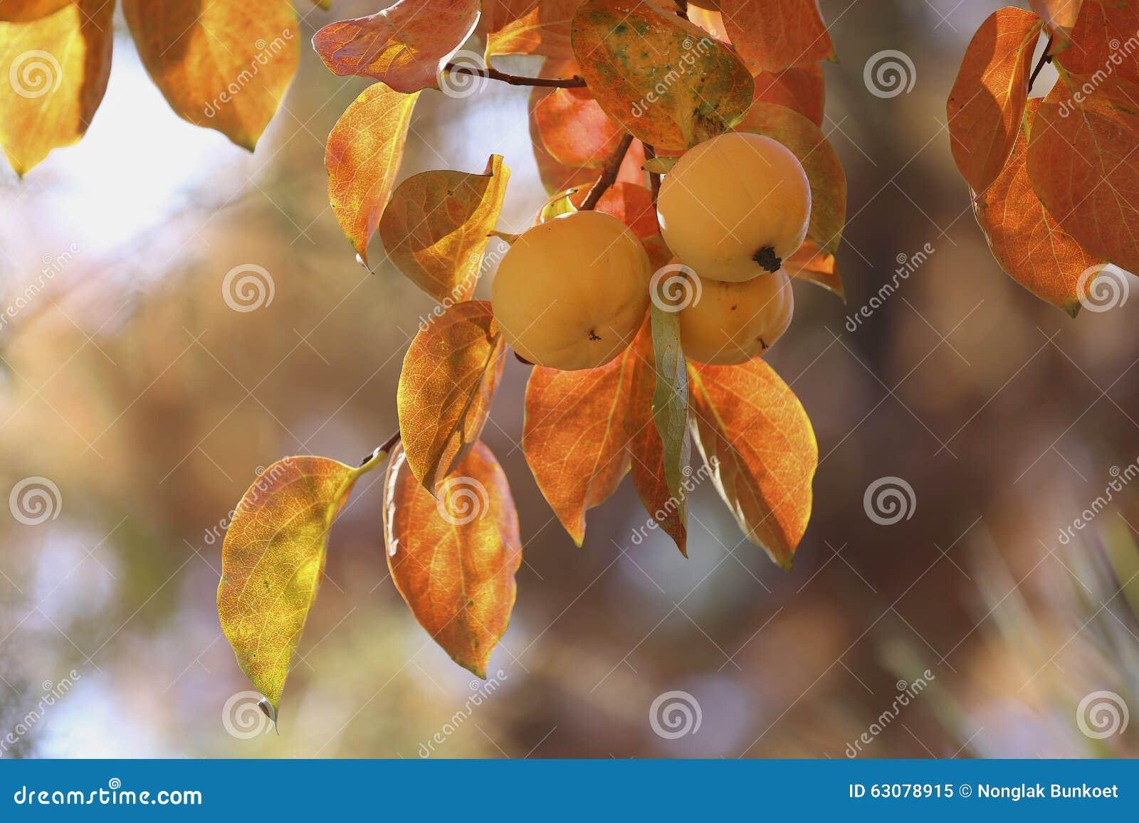 Download Kakis sur l'arbre image stock. Image du orange, organique - 63078915