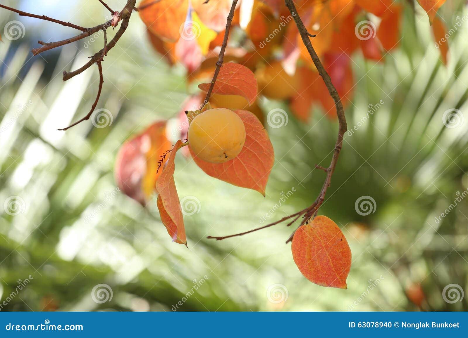Download Kakis sur l'arbre photo stock. Image du automne, jaune - 63078940