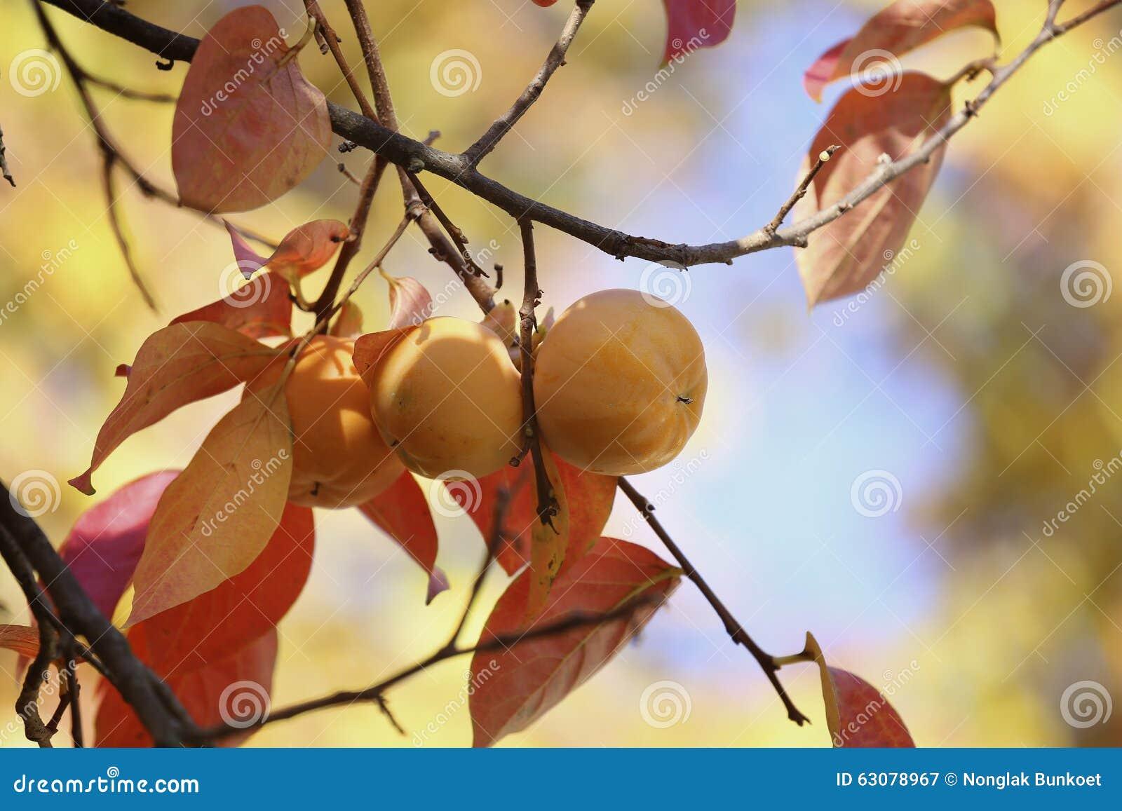 Download Kakis sur l'arbre image stock. Image du jaune, kaki, savoureux - 63078967