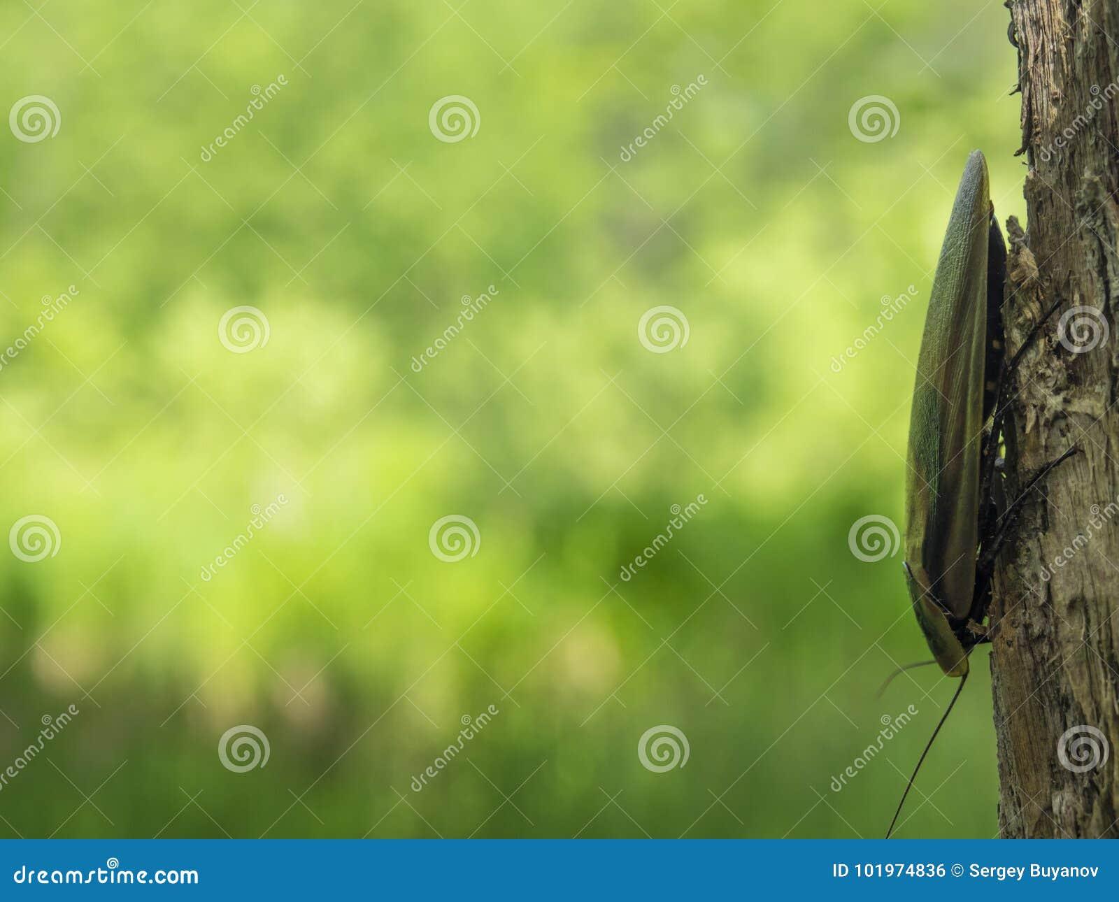 Kakkerlak Blaberus op de boom