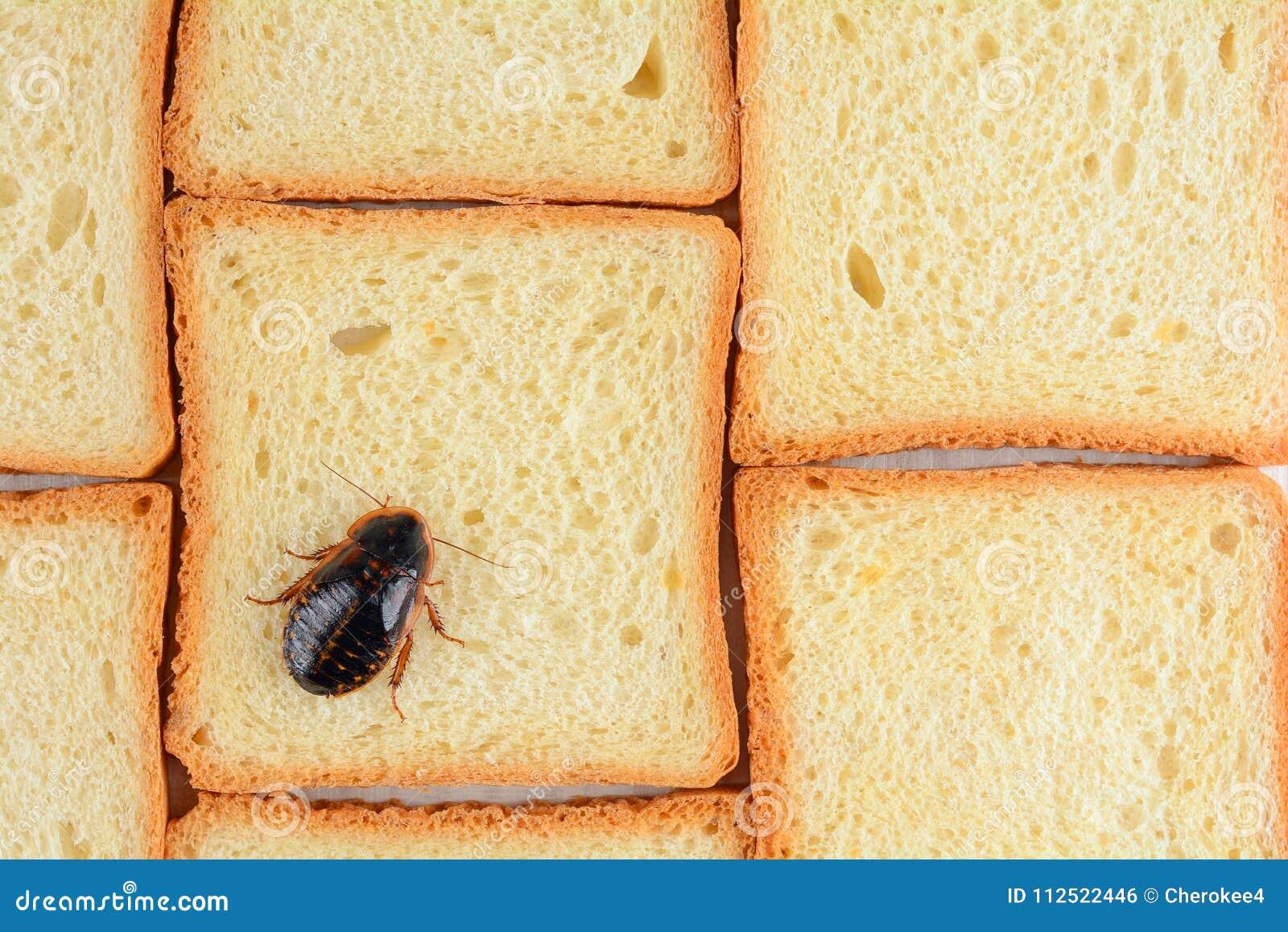Kakkerlak op voedsel in de keuken Het probleem is in het huis wegens de kakkerlakken Kakkerlak die in de keuken eten