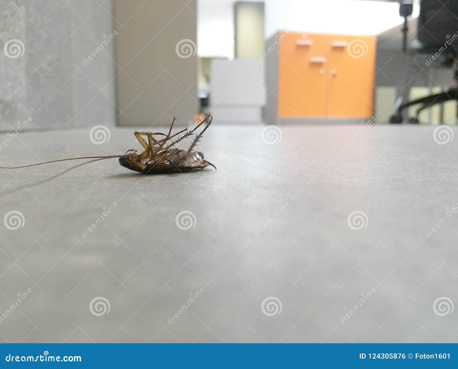 Kakkerlakken dood op het vloerbeton in bureau