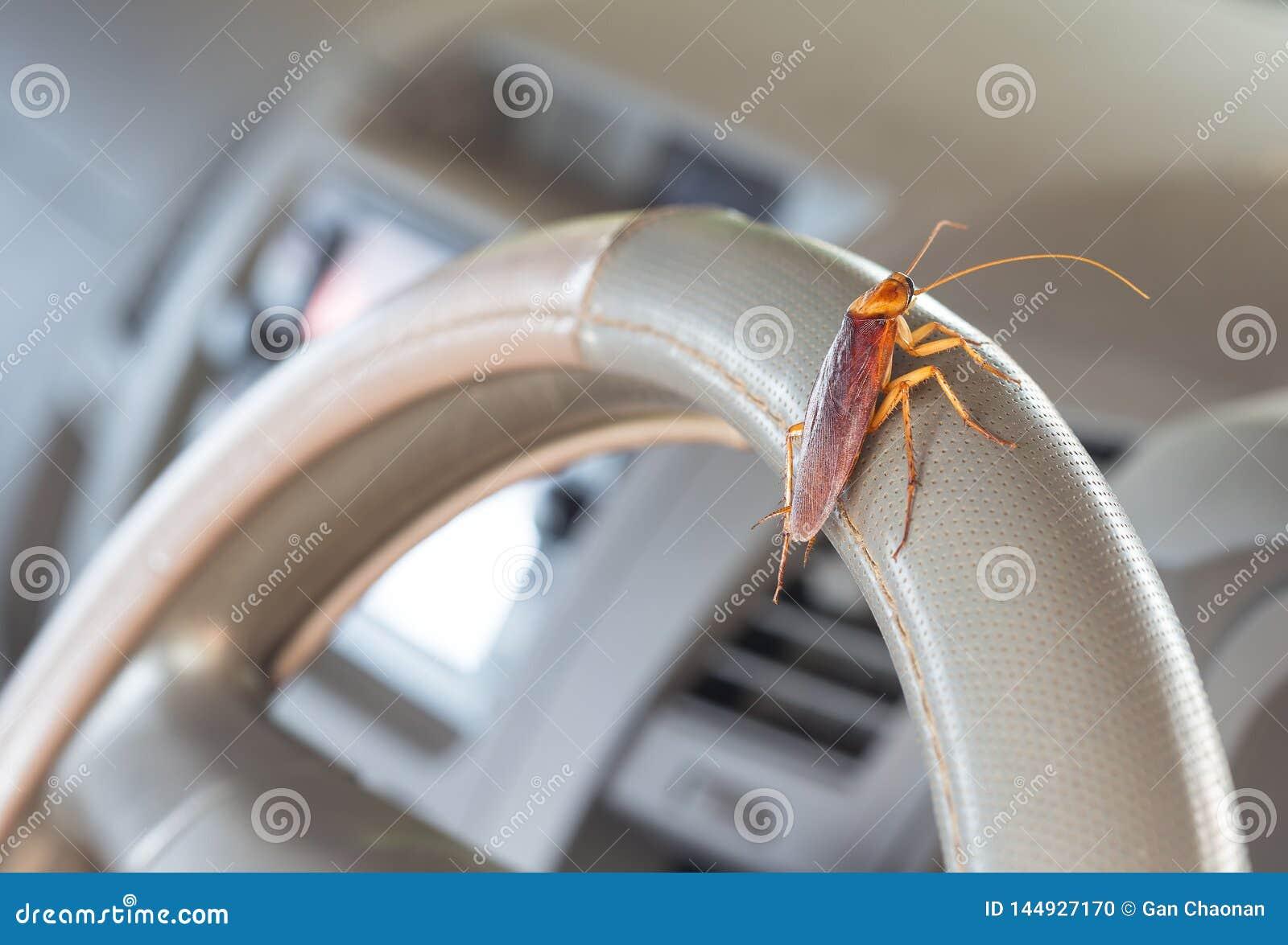 Kakkerlakken op het stuurwiel van de auto
