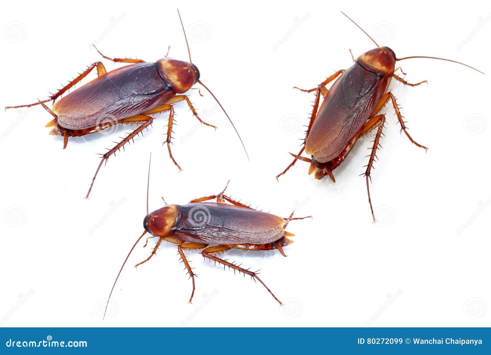 Kakkerlakken op witte achtergrond