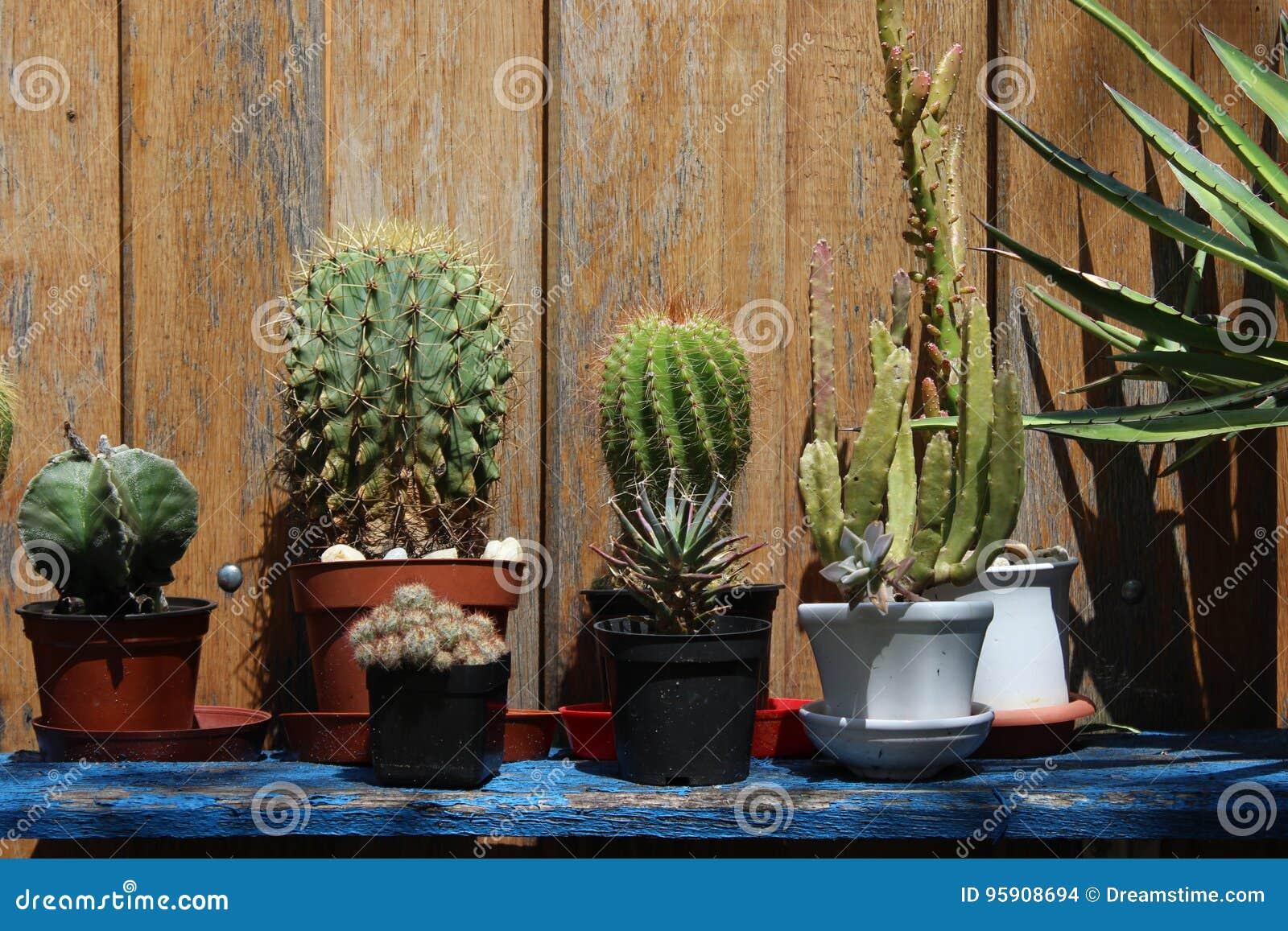 Download Kakteen Auf Einem Regal Im Garten Stockfoto   Bild Von Spitzen,  Wachstum: 95908694