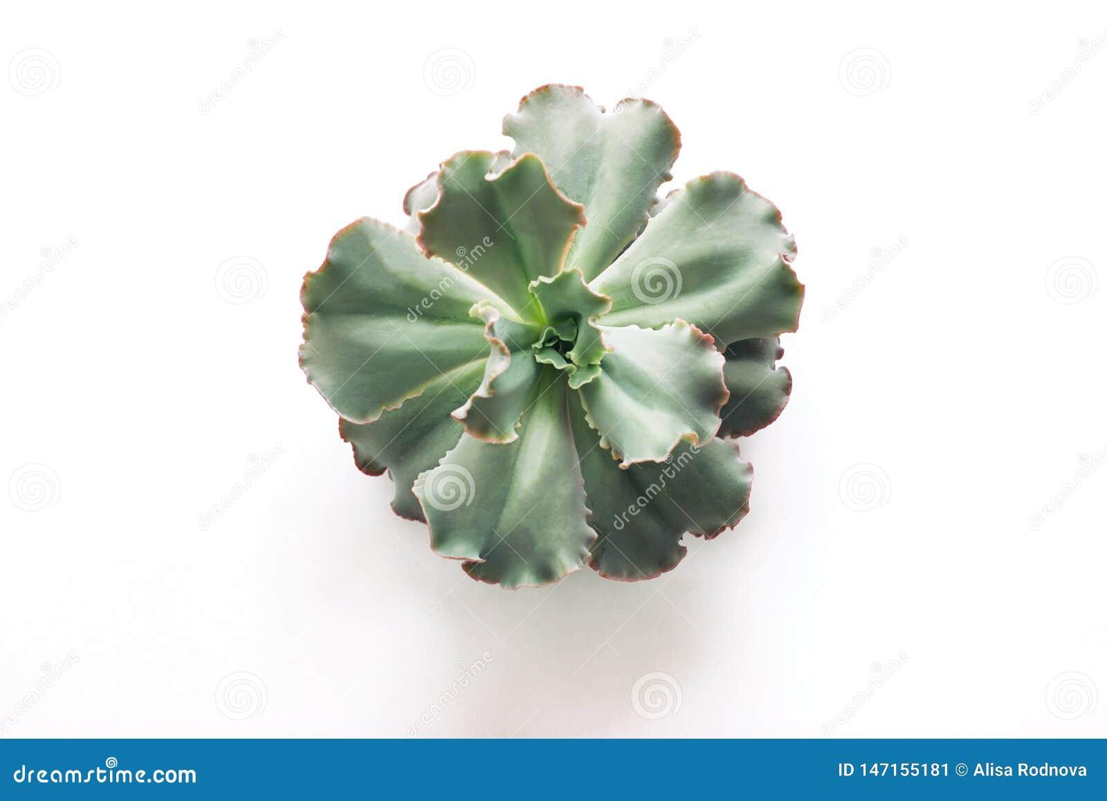 Kaktuns är en suckulent växt som isoleras på vit