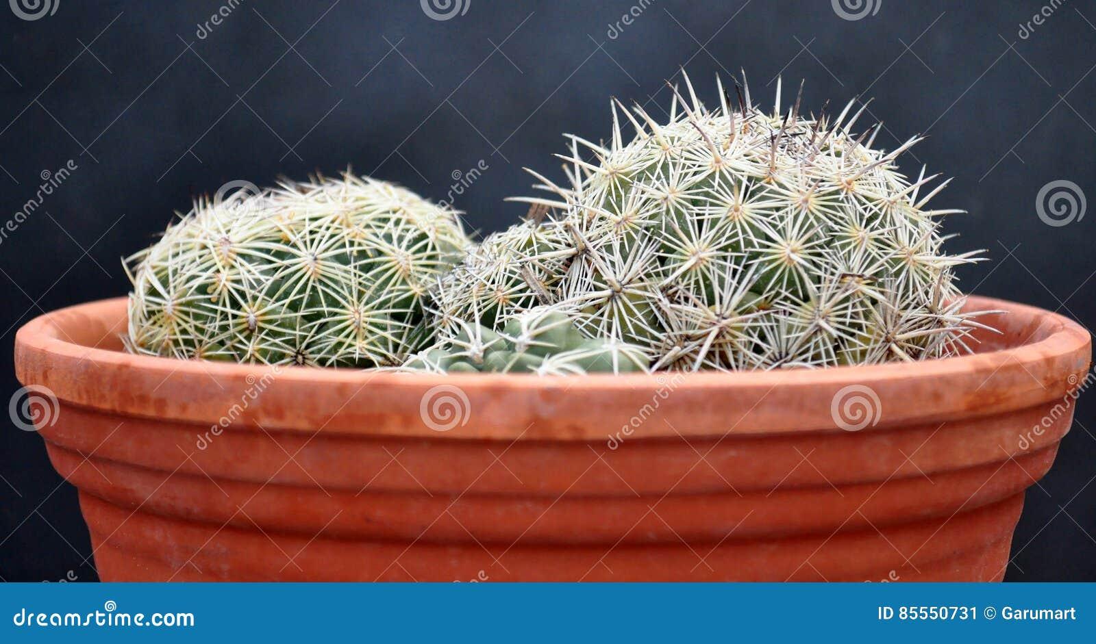 Kaktus auf Tongefäß