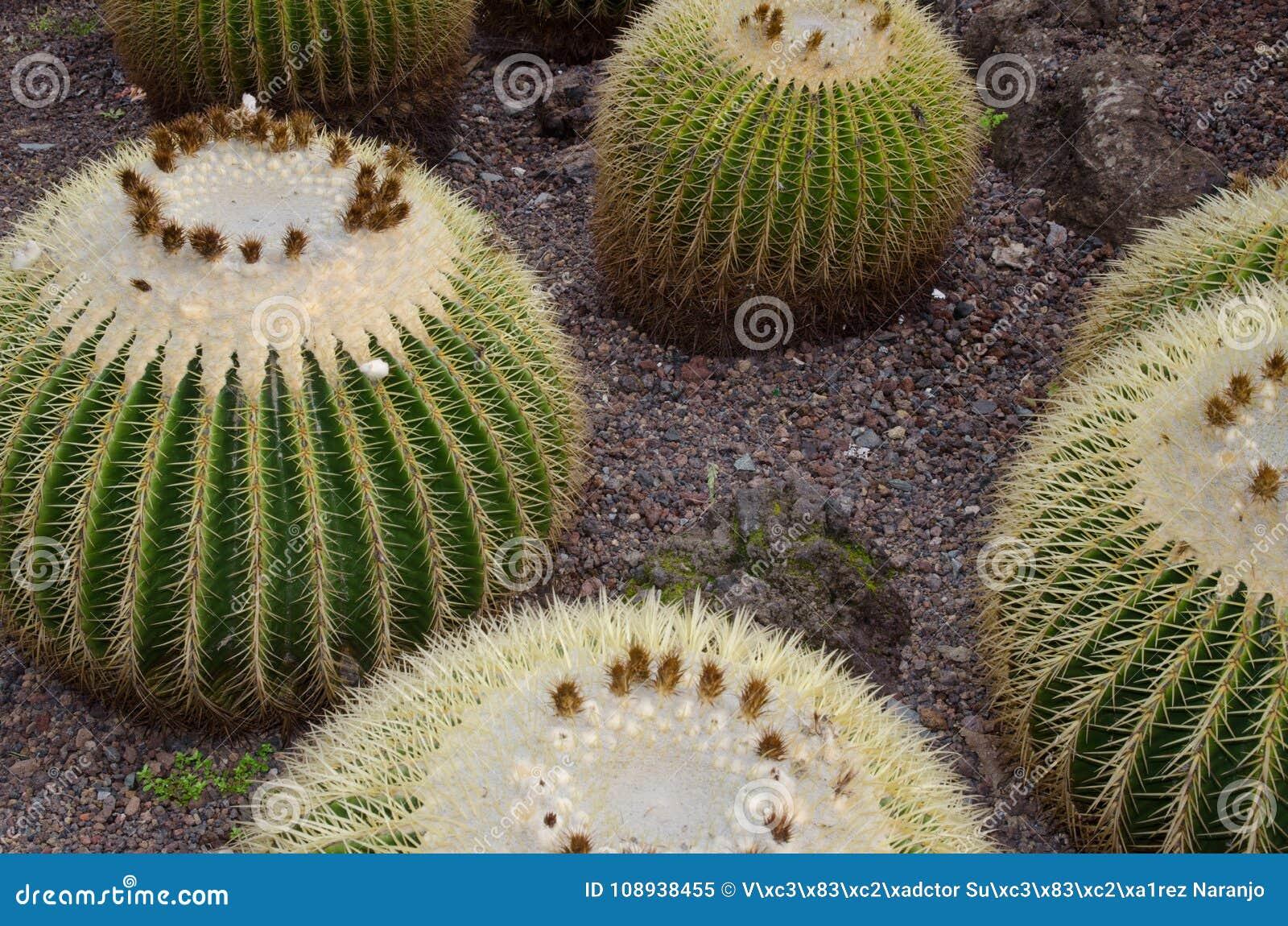 Kaktus barrel złoty