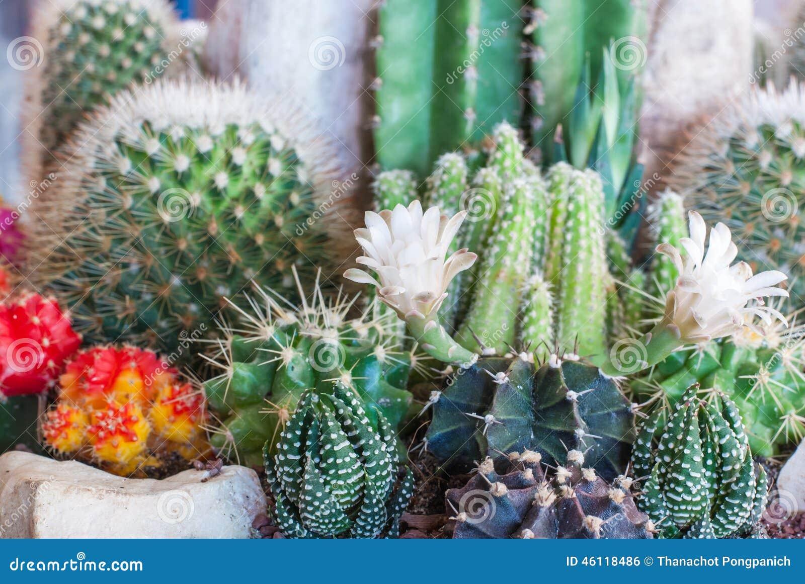 Kaktus clumy kwitnienia kwiaty wzrostu jak nowe strony małe