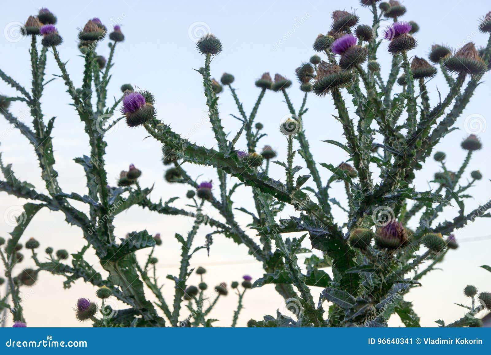 Kaktus i fältet