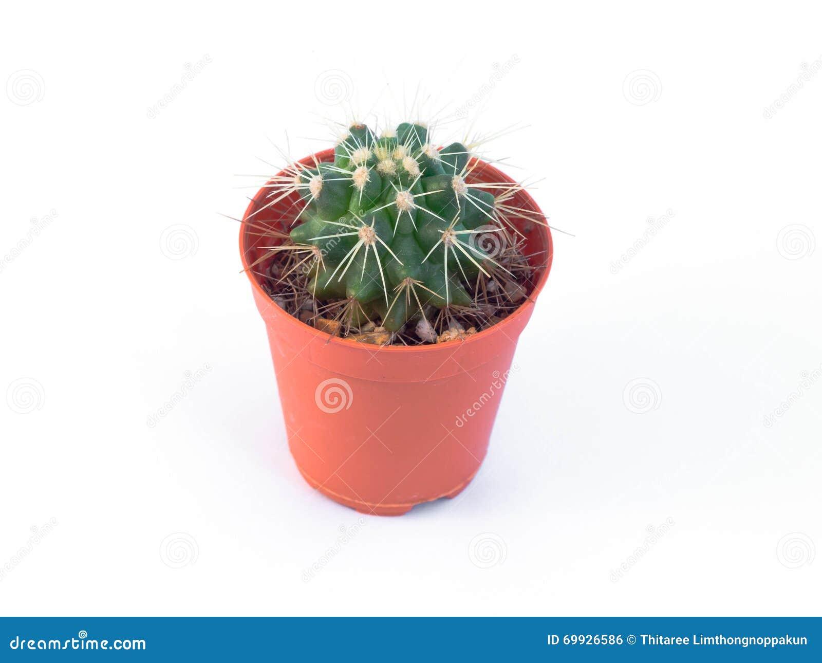 Kaktus Im Miniplastiktopf Stockfoto Bild Von Kaktus 69926586