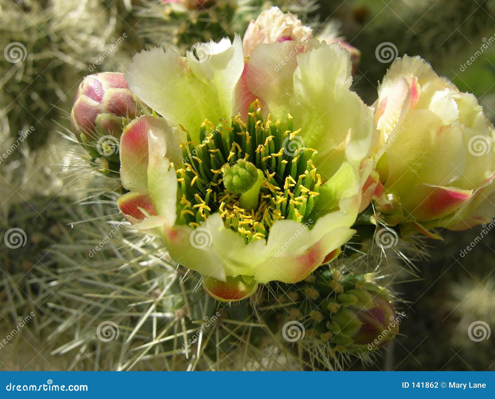 Kaktus kwiat