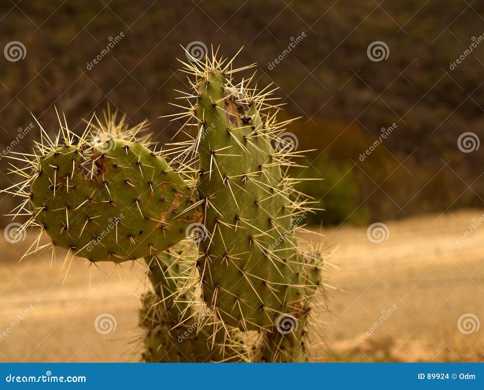 Kaktus meksykanin
