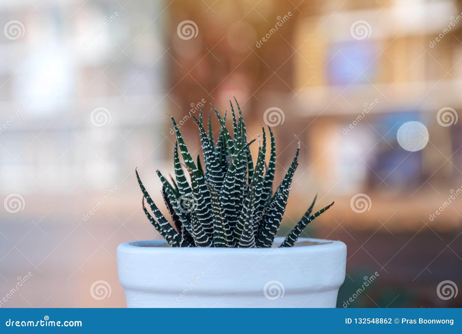 Kaktus w garnku z zamazanym tłem