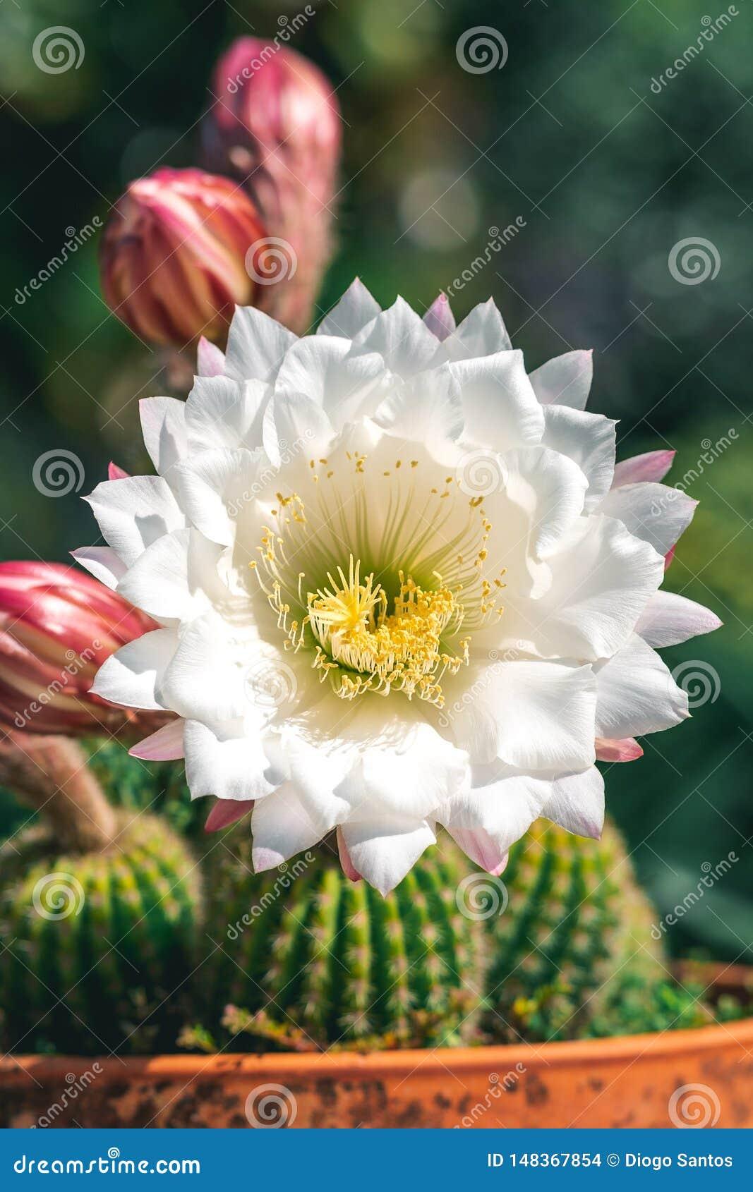 Kaktus w s?oju