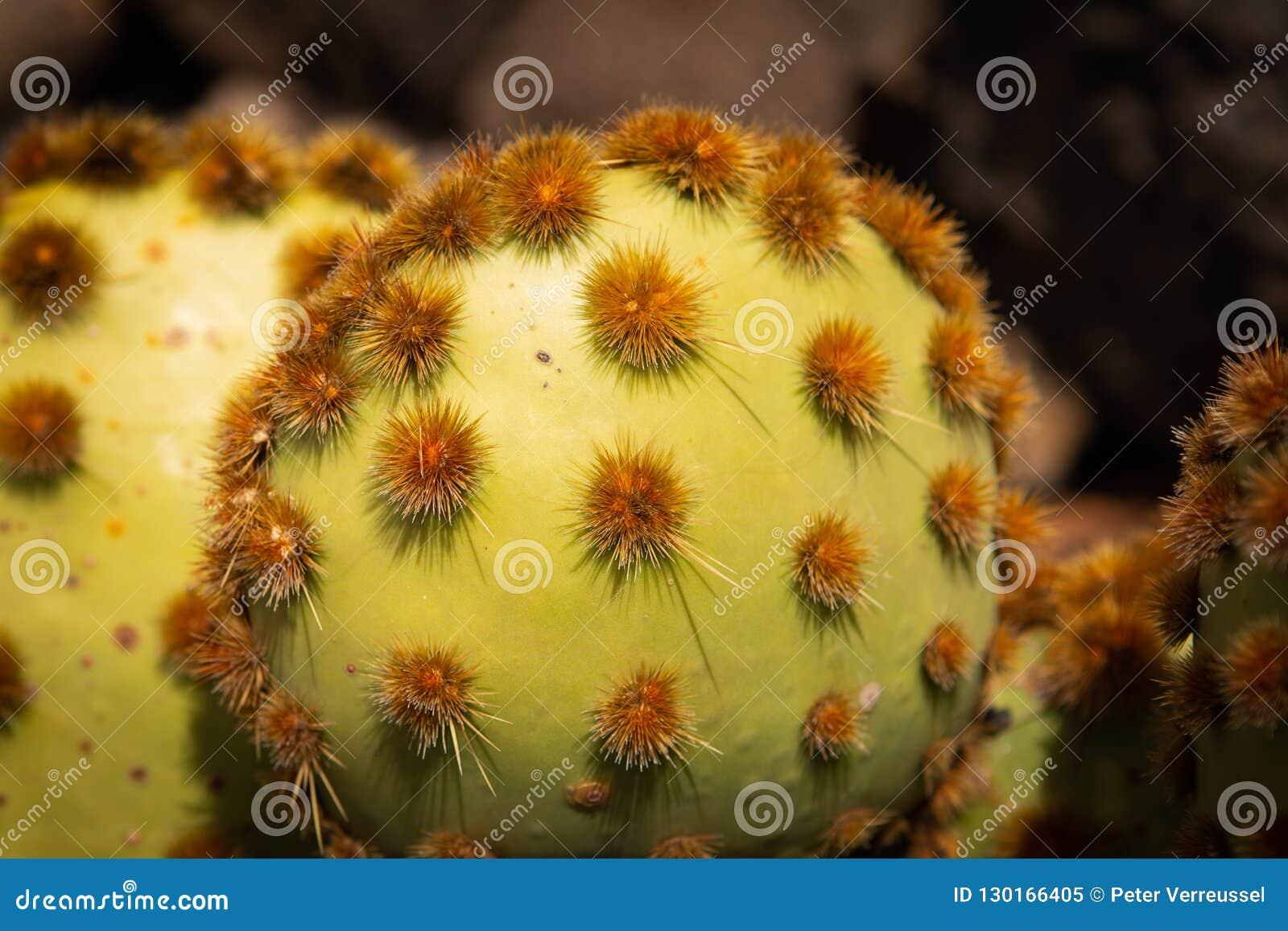 Kaktus z grupami prickles