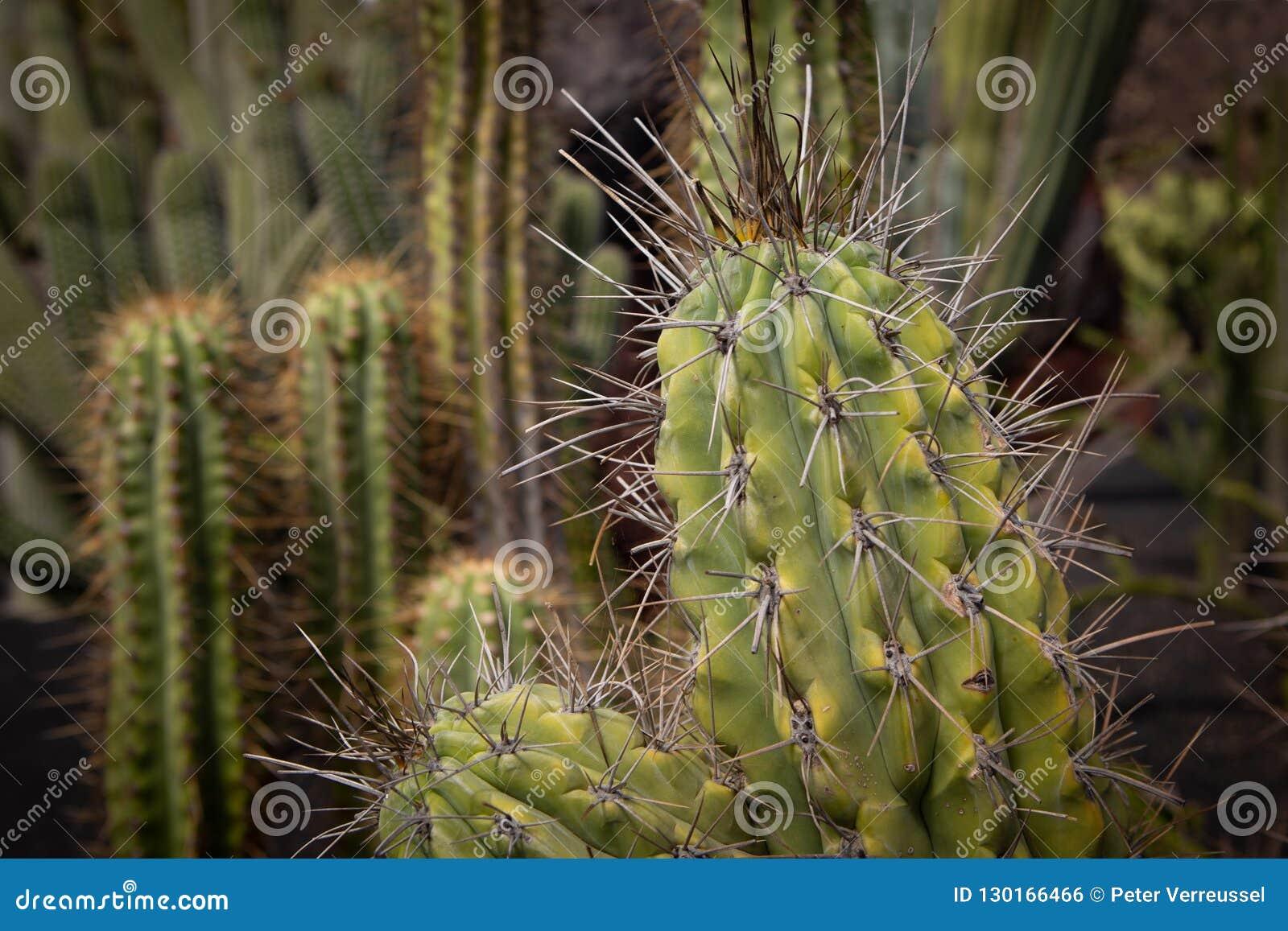 Kaktus z wielkimi prickles
