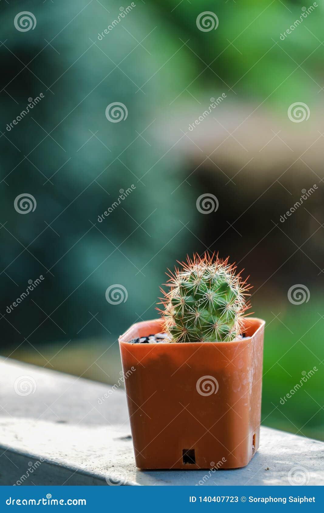 Kaktus zasadzający w małych pomarańczowych garnkach