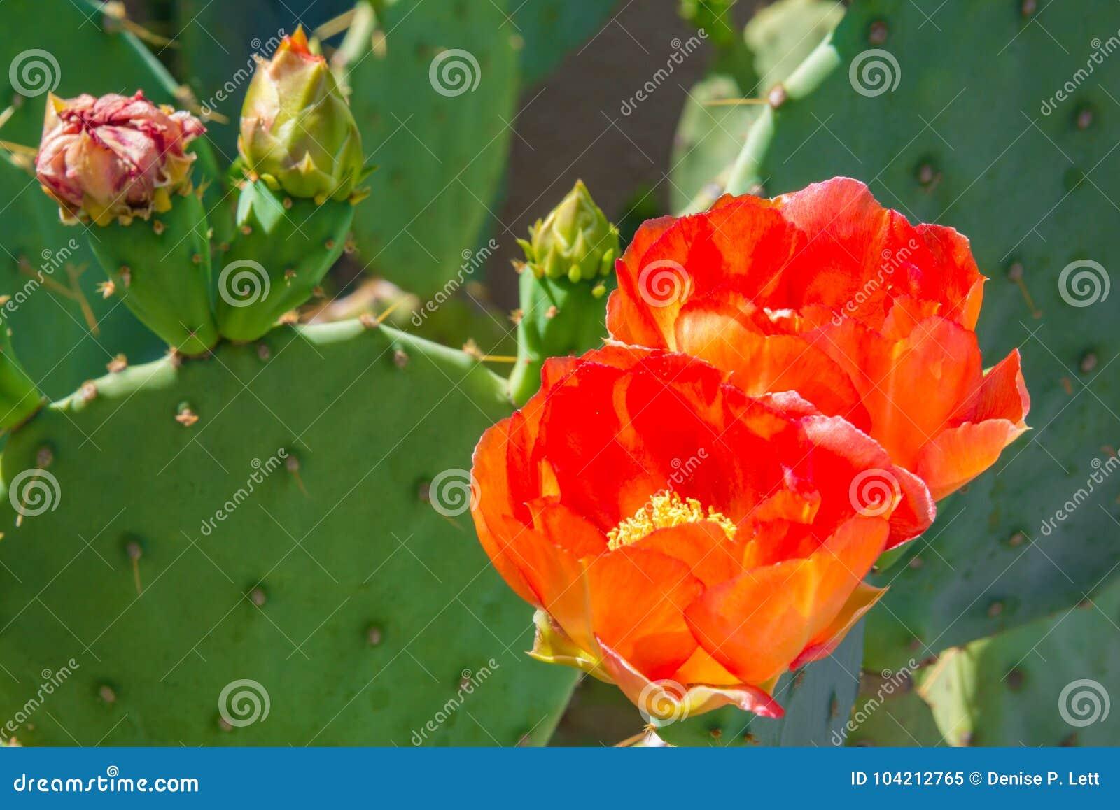 Kaktusapelsinen för det taggiga päronet blommar och slår ut
