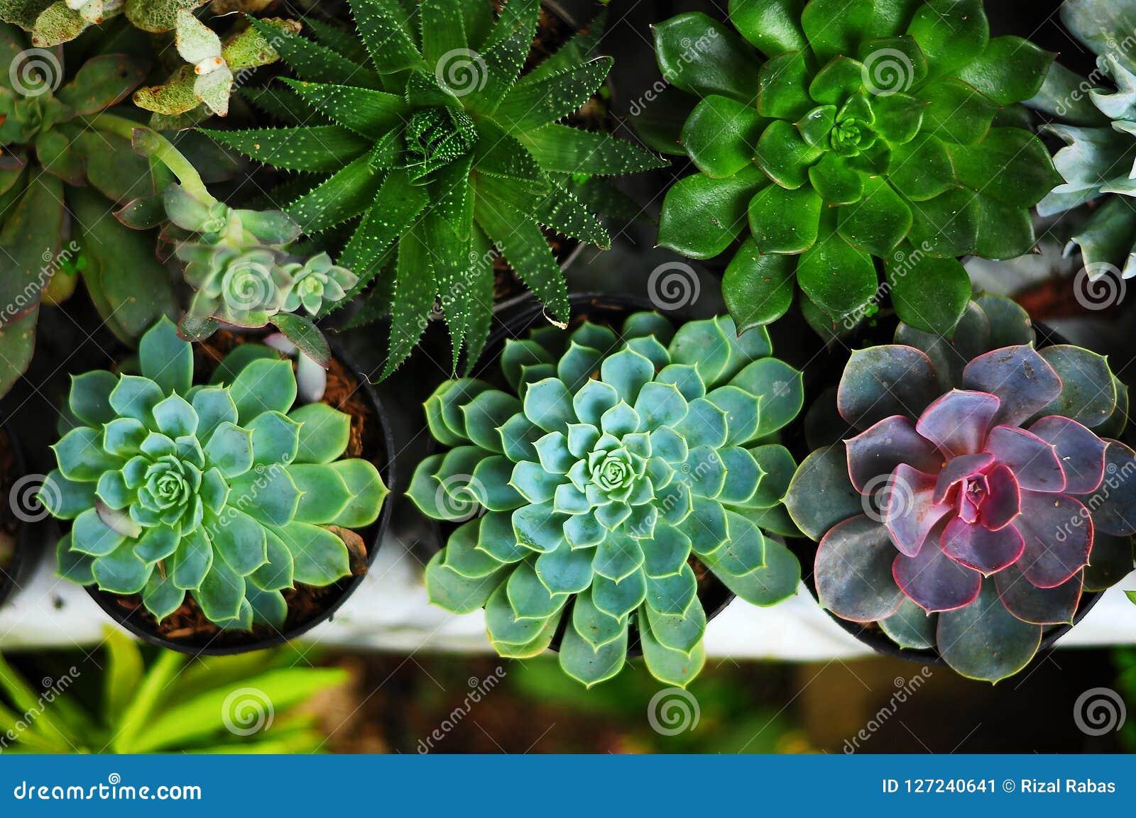 Kaktusblomman är alltid en favorit- dekorativ växt