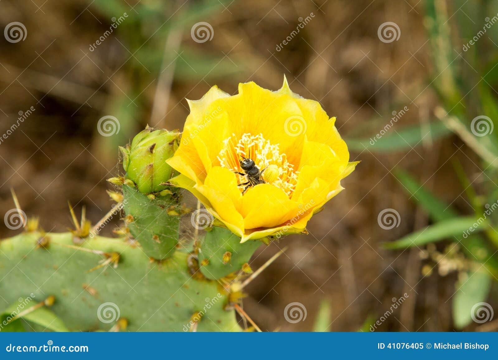 Kaktusfeige-Kaktus-Blume