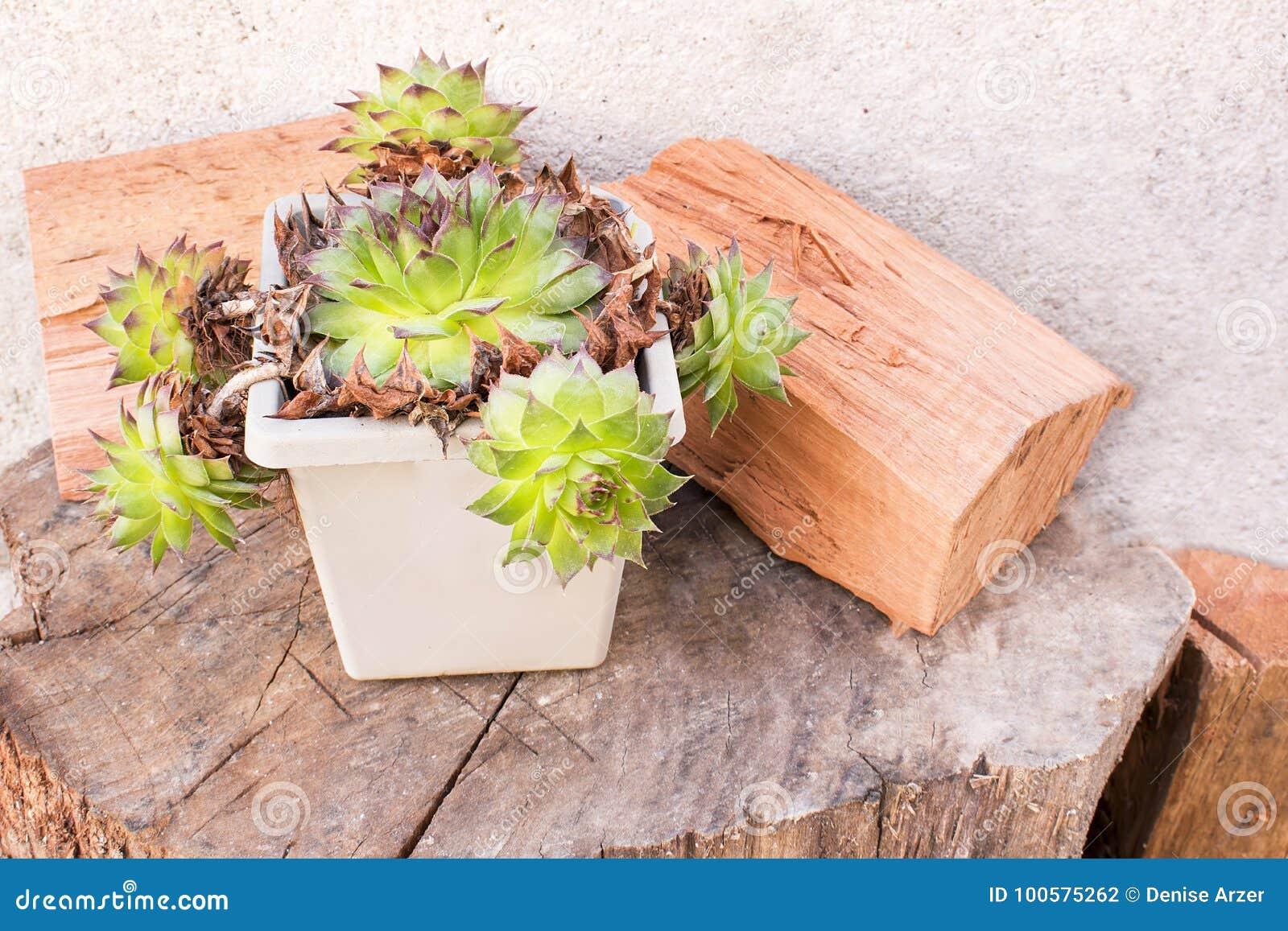 Kaktusowi i drewniani bagażniki