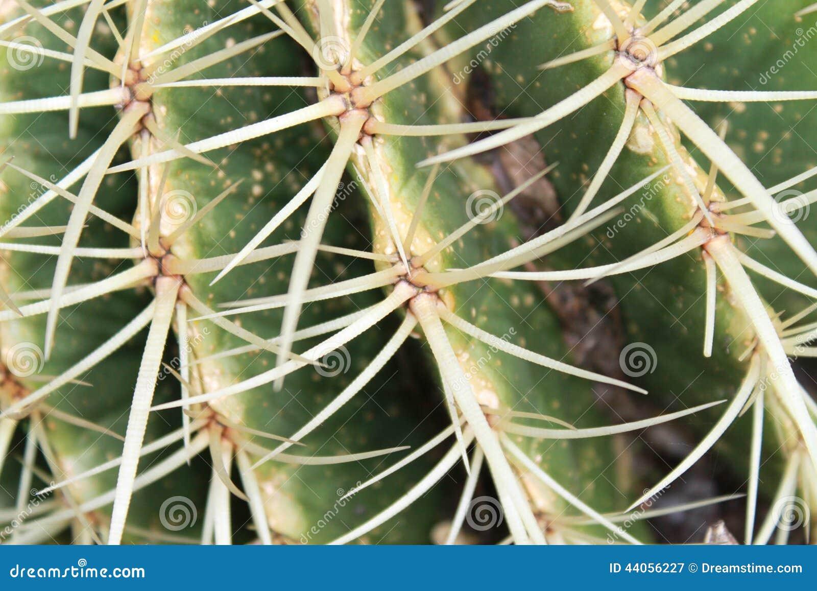 Kaktusowi kręgosłupy