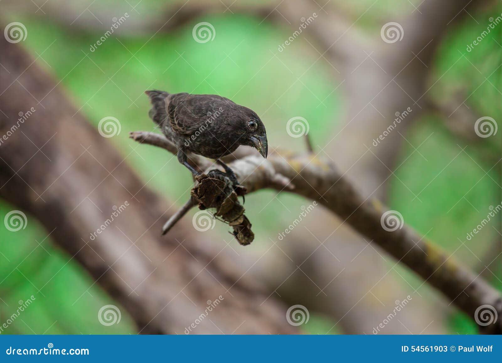 Kaktusowy Finch
