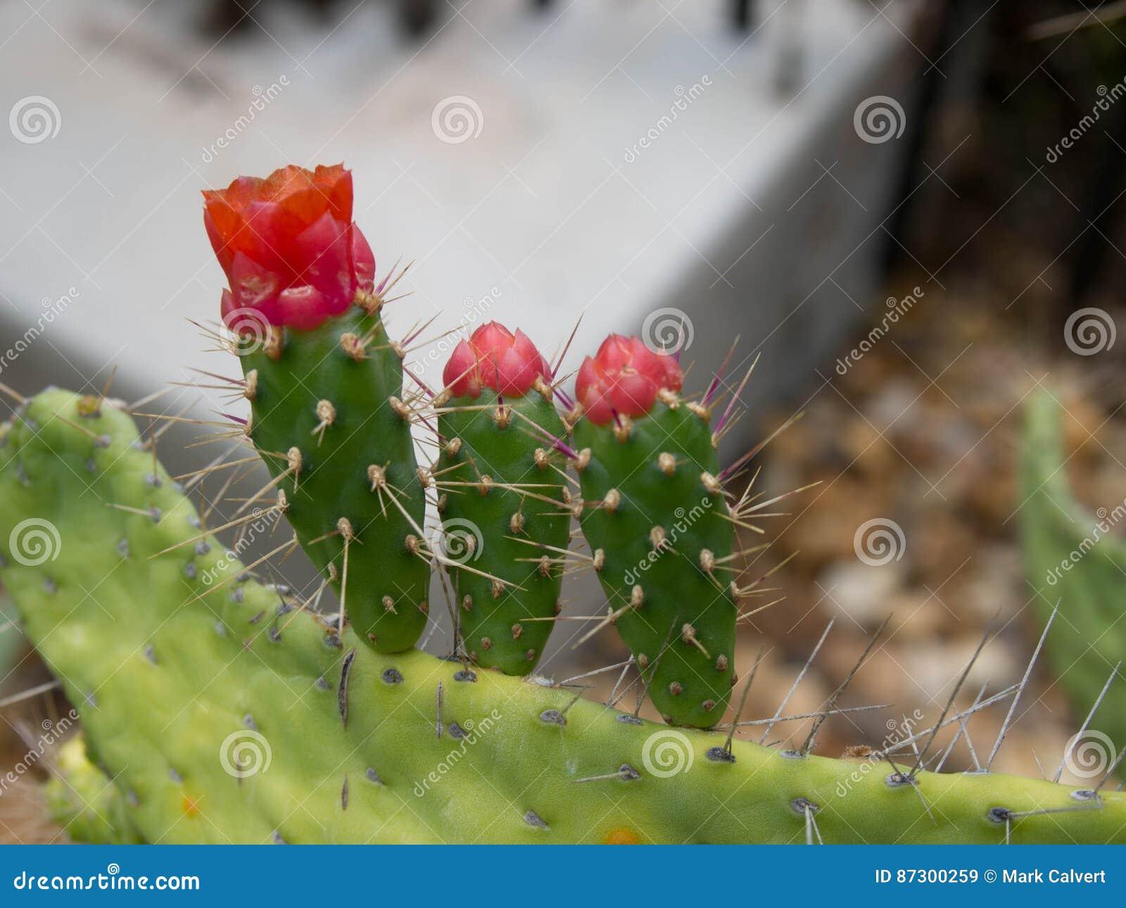Kaktusowy kwiat