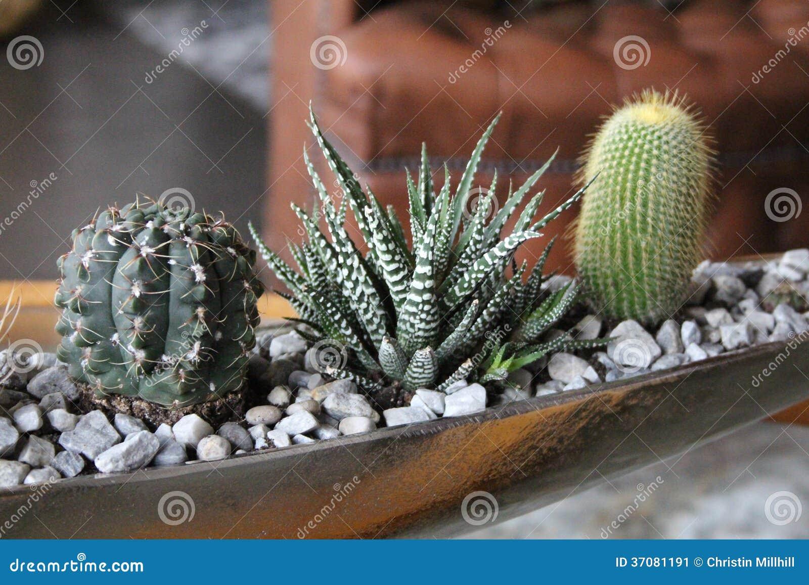 Download Kaktusy obraz stock. Obraz złożonej z roślina, farm, rośliny - 37081191