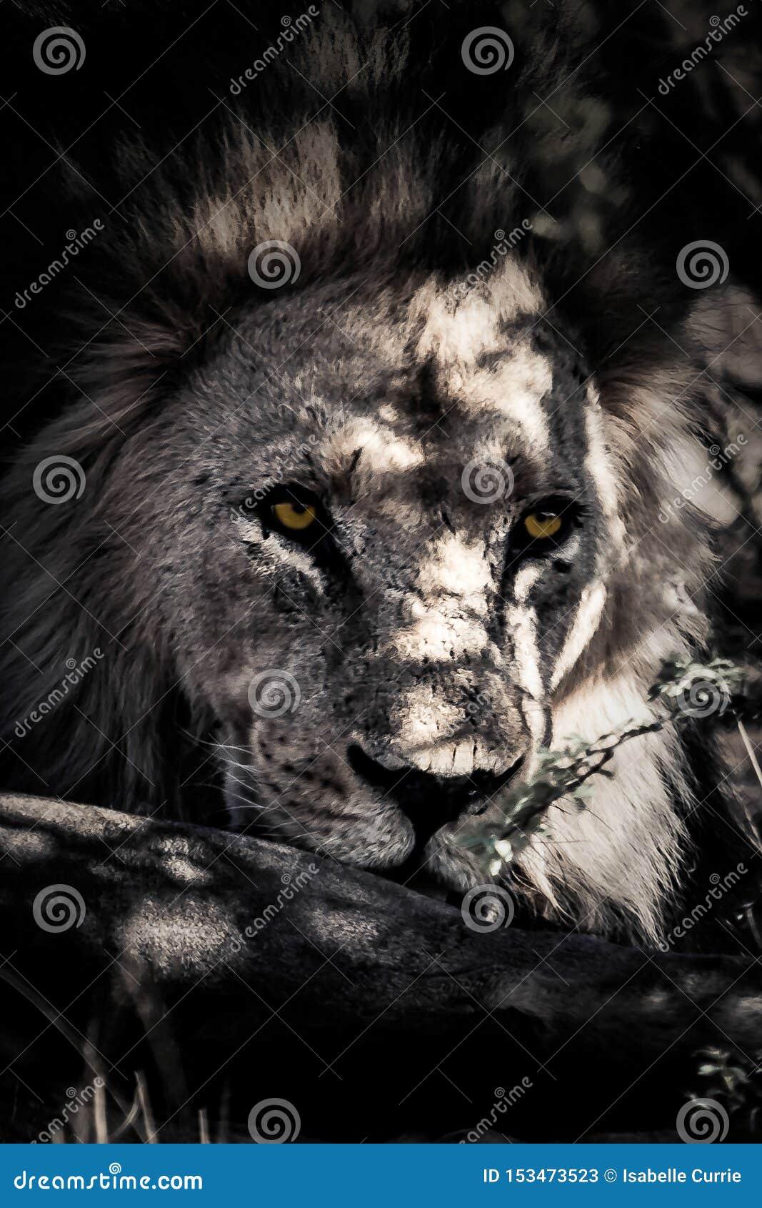 Kalahari Lion Close sul ritratto