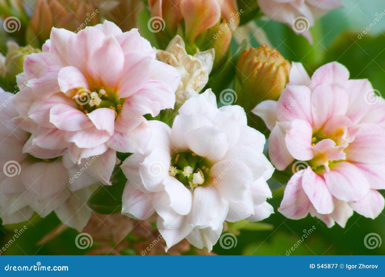 Download Kalanchoe粉红色 库存图片. 图片 包括有 bossies, 宏指令, 爱抚, 二项式, 开花, budd - 545877