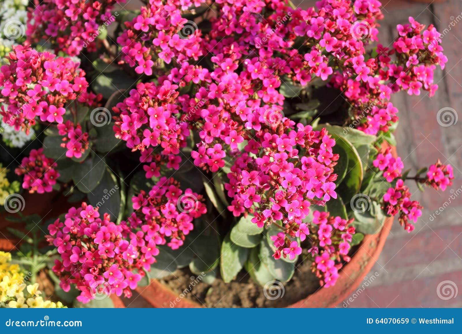 Kalanchoe Blossfeldiana Pink Stock Image Image Of Small Pink